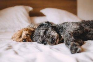 ベッド, 犬, 動物, ペット, リラックス, 眠っている, 穏やかな, 眠い
