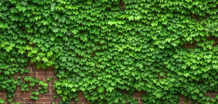 Sadzenie pnączy i sposoby ich podpierania