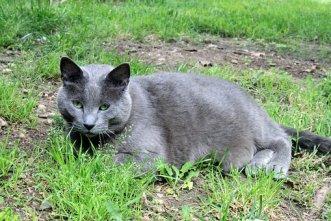 猫, ペット, 家畜化された, 男性, 大, 脂肪, グレー, レスキュー, 外