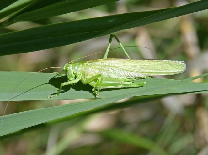 Hasil gambar untuk belalang hijau hd