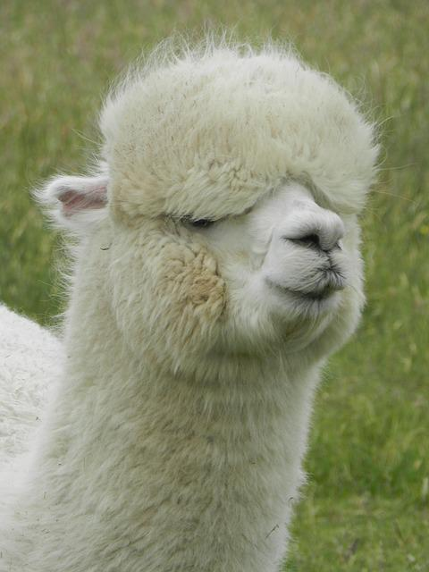 Free Photo Alpaca Lama South America Free Image On