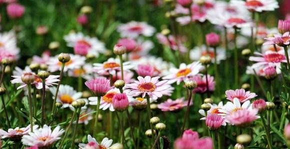 Marguerite, Drzewo Daisy, Kwiat
