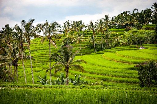 rice terrace bali
