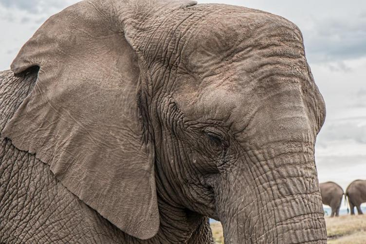 Elefante, Tronco, Grandes, África
