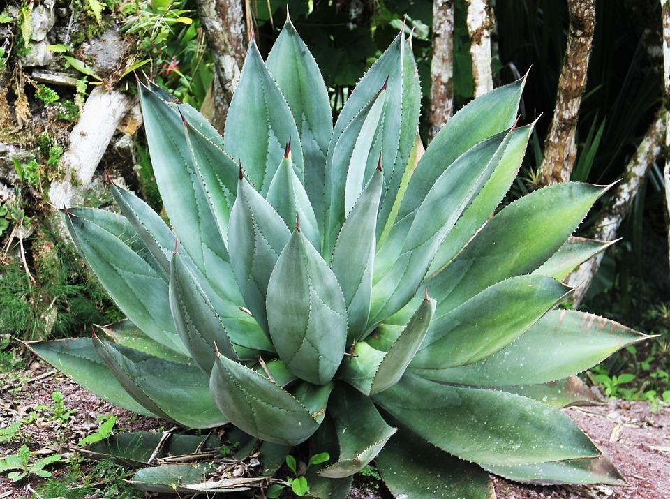 Reus Aloe Vera, Bladeren, Vlezige Bladeren, Exotische