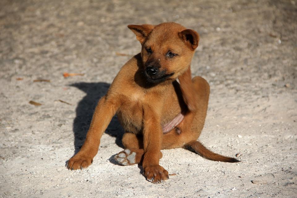 Dog, Flea, Scratch, Young