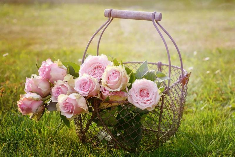 Roses, Blossom, Bloom, Pink Rose, Rose Bloom