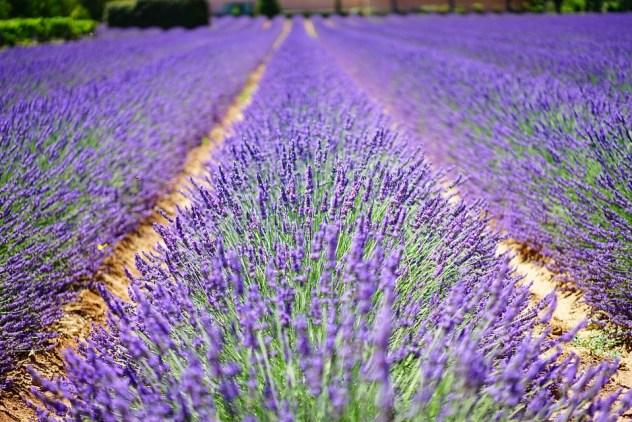 ラベンダー色の花, 青, 花, 紫, Dunkellia, ラベンダー, ラベンダー畑, ラベンダーの栽培