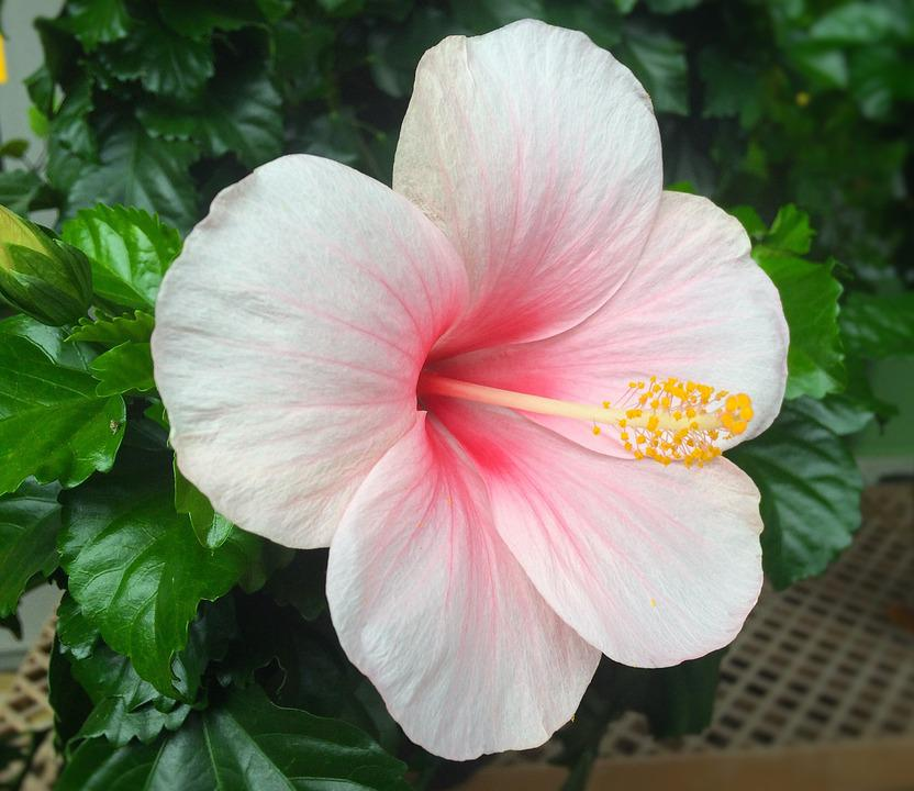 Flowers Hibiscus Southern      Free photo on Pixabay flowers hibiscus southern countries huang red
