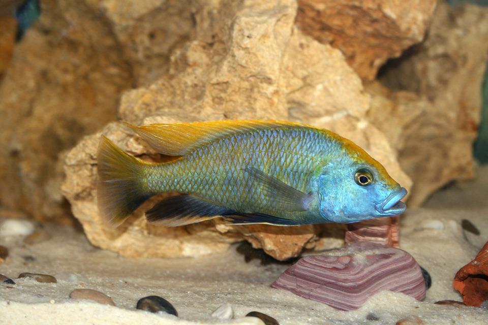 Yaşayan Kaya Akvaryum Balığı