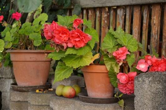 Begônias, vasos de flores, flores em vasos, jardim