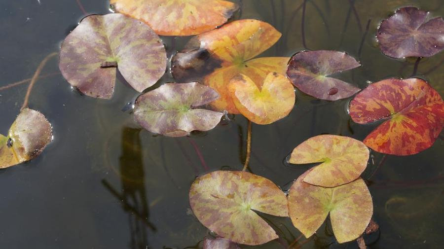 Water Lilies, Water, Pond, Nature, Nuphar, Summer