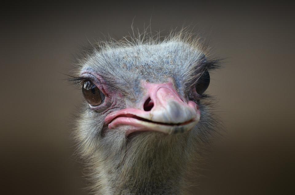 Photo Gratuite Autruche Oiseau Portrait Bec Image