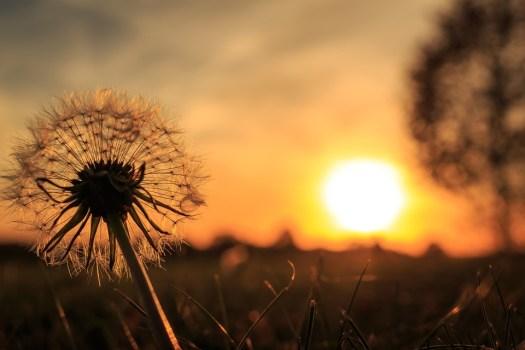 Retroilluminazione, Dente Di Leone, Sun, Natura, Vicino