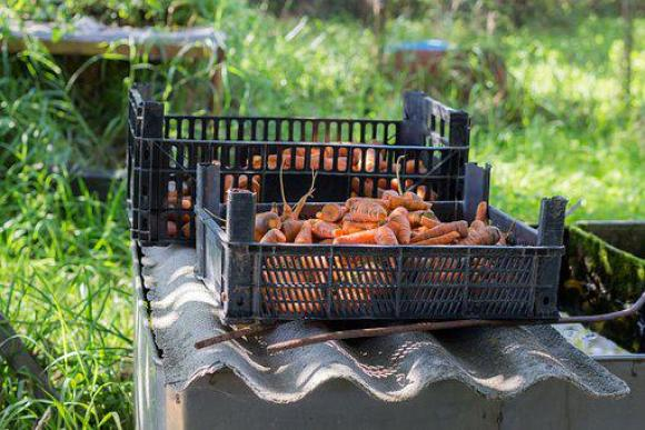 Carrot, Village, Economy, Vegetables