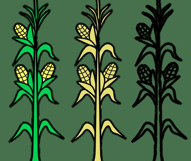 Jagung Lapangan Pertanian Gambar Gratis Di Pixabay