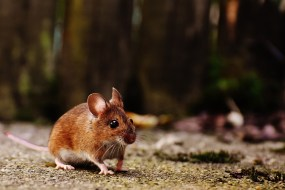 Mouse, Rodent, Cute, Mammal, Nager, Nature, Animal