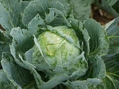 White Cabbage \u00b7 Free photo on Pixabay