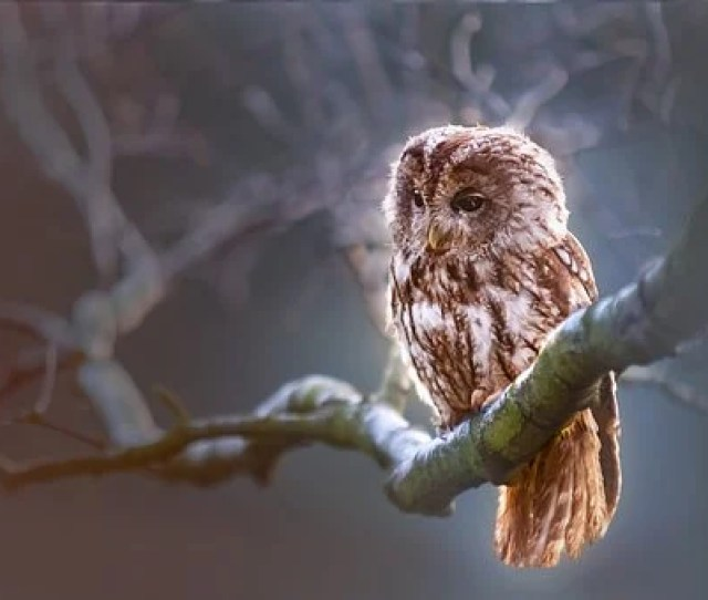 Owl Bird Predator Branch Nature