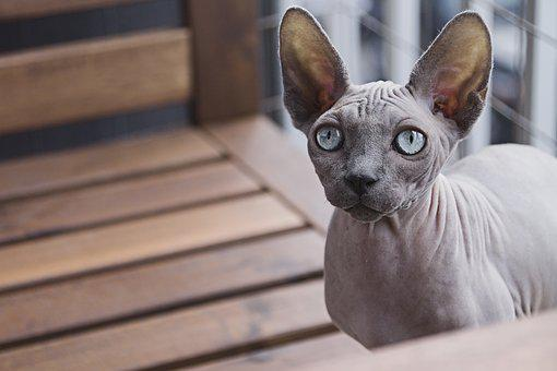 7 Best Cats Hypoallergenic Felis Catus