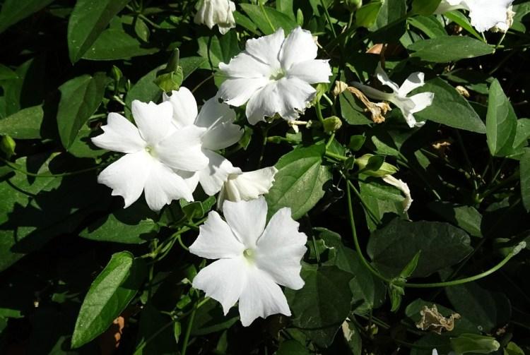 Biała Dama, Kwiat, White, Pnącza Fragrans