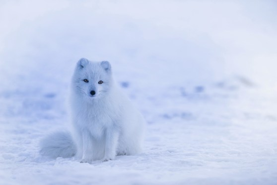 Iceland, Arctic Fox, Fox, Animal, Wildlife, Winter