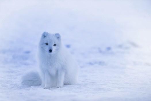 Islanda, Volpe Artica, Fox, Animale, Natura, Inverno