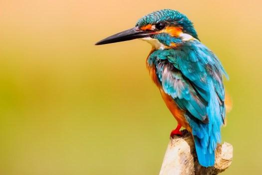 Martin Pescatore, Uccello, Natura, Macro, Primo Piano
