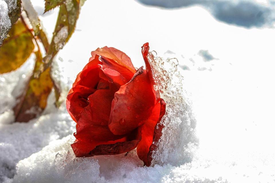 Rose, Zăpadă, Gheaţă, Iarna, Rece, Frost, Înghețat