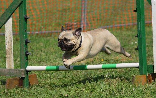 Dog, Pug, Training, Jumping, Breed