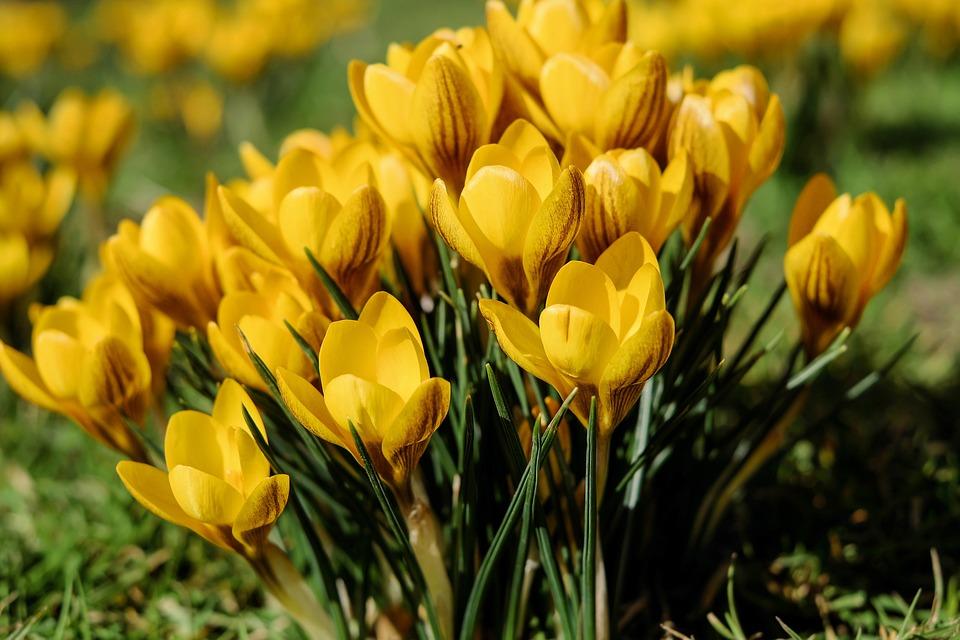 Şofran, Flori, Floare, Galben, Primăvară, Luncă