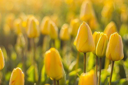 Pays Bas, Tulipes, Fleur, Sur Le Terrain