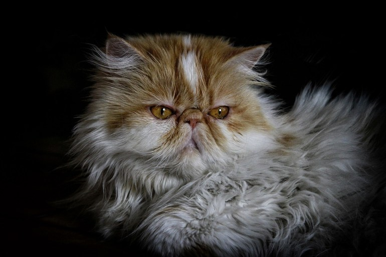persian cats. Lovely adorable long fur of coats