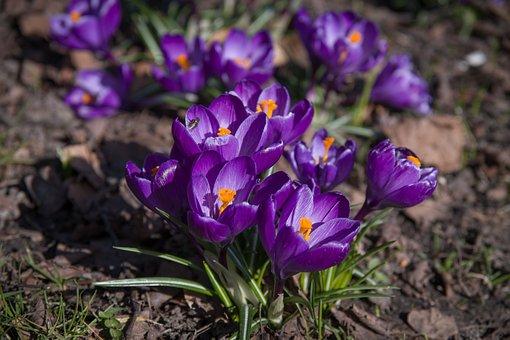 Crocus, Flowers, Purple, Spring, Flower