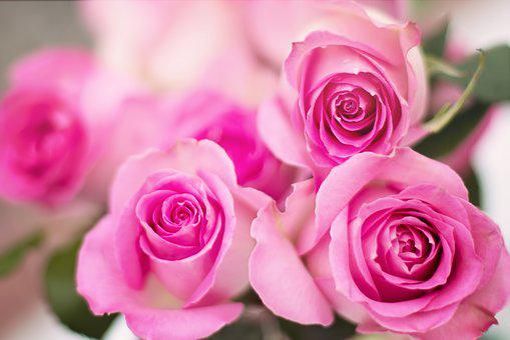 700 Beautiful Free Rose Wallpapers Hd Pixabay