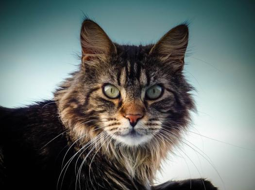 Gatto Di Maine Coon, Cat, Occhi, Naso, Vista, Vicino