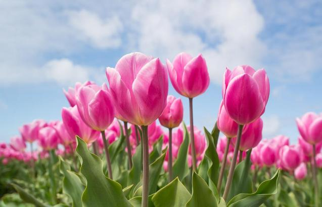 How can I be spreading happiness depicted by pink tulips