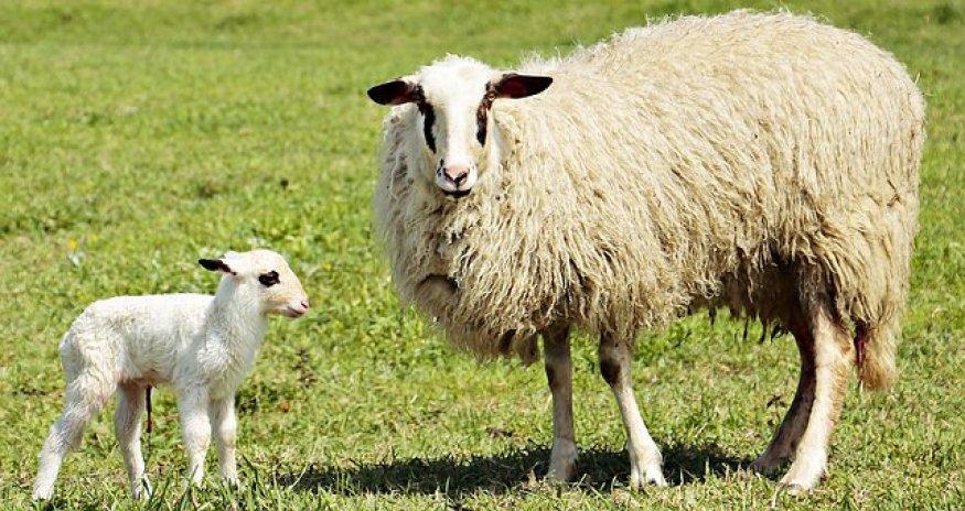 Lamm, Lämmchen, Schaf, Tier, Niedlich
