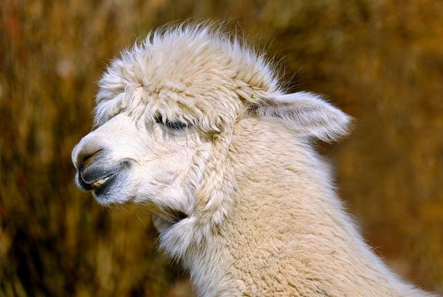 Alpaca Animal Creature Free Photo On Pixabay