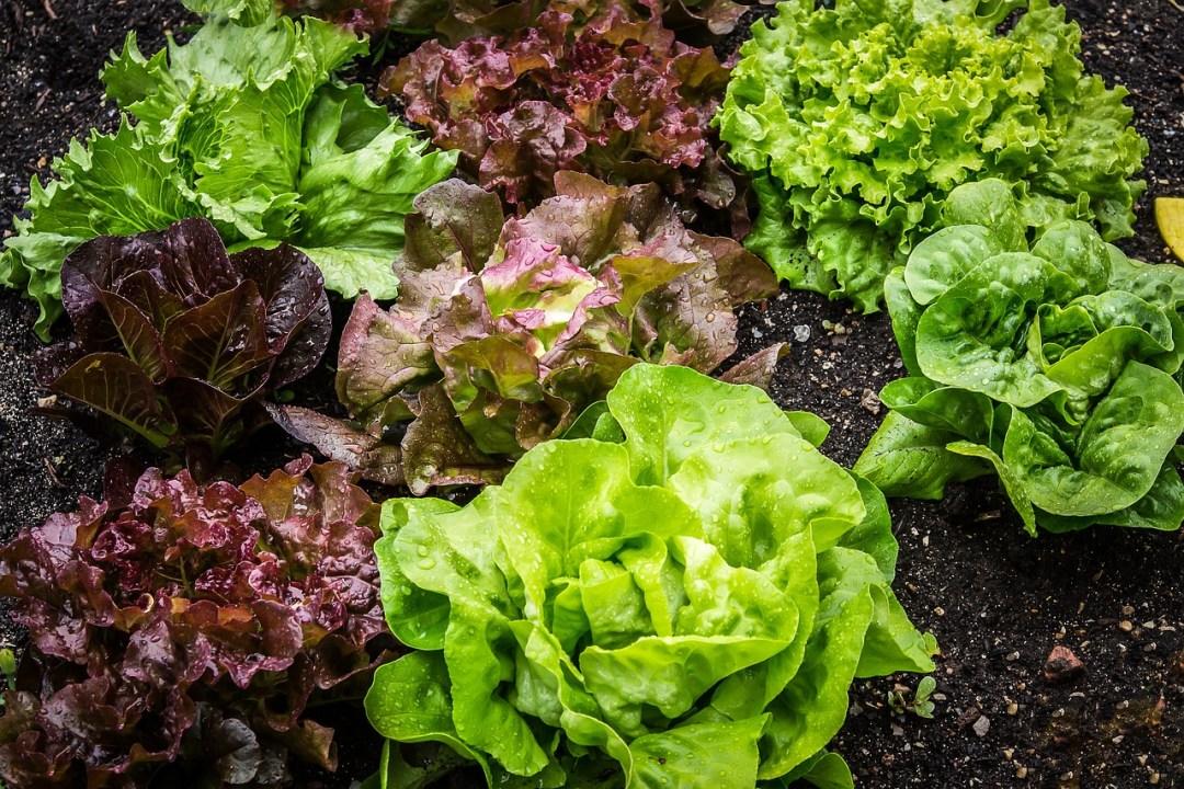 diverse varietà di insalata nell'orto