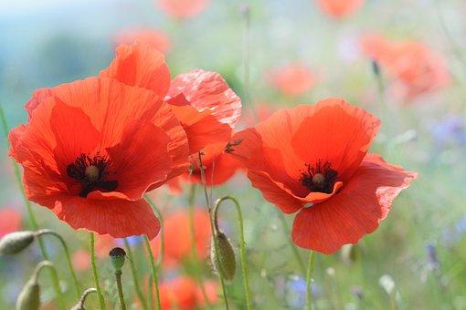 Pavot, Fleur, Nature, Rouge-Orange