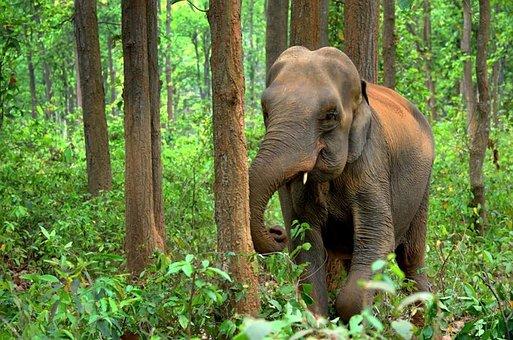 hewan mamalia gajah india