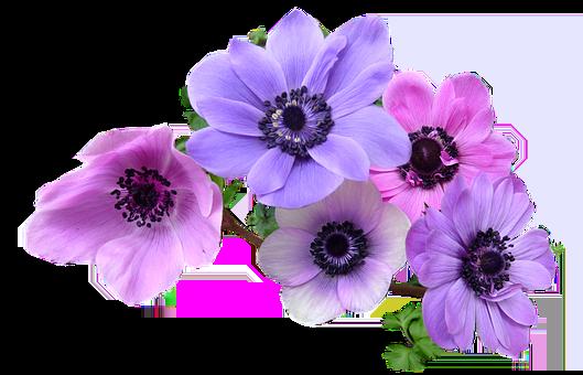 Anémone, Fleurs, Ampoules, Découper