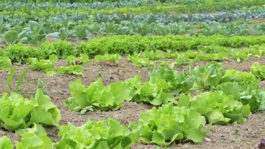 Insalata, Le Erbe, Verdure, Coltivazione, Orticoltura