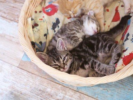 子猫, 仔猫, 飼い猫, 猫, ネコ, ねこ, 生き物, 動物, 生物