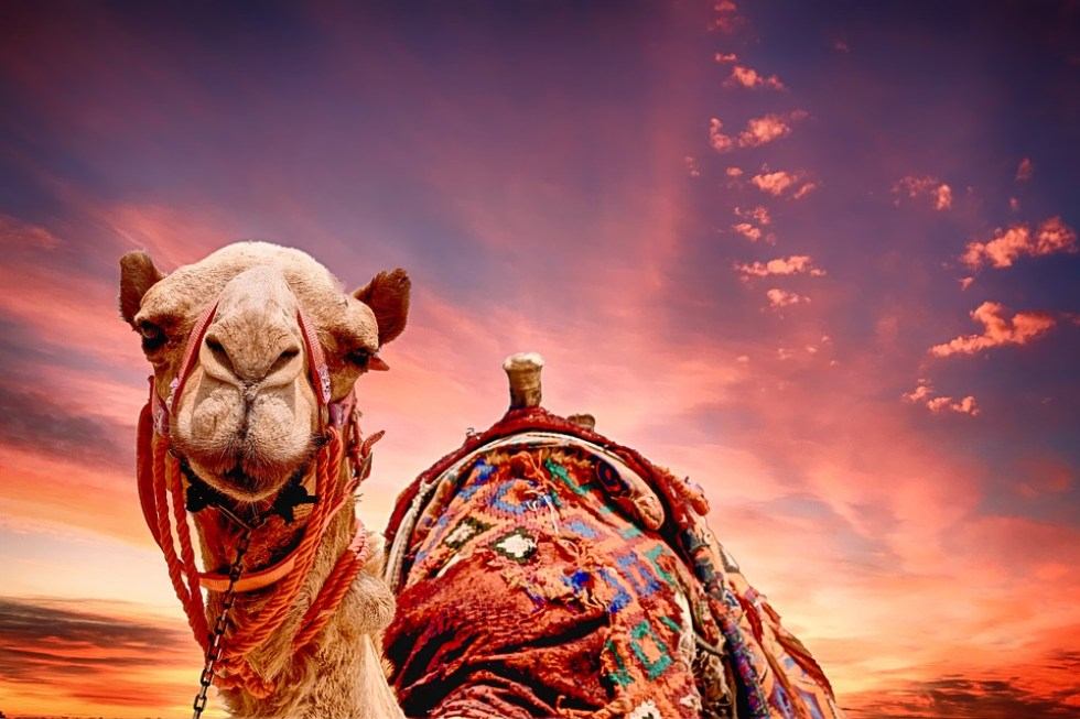 Camel, Sunset, Landscape, Tourism, Desert, Travel