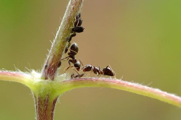 Ant, Macro, Insect, Aphid, Green, Macro Photography