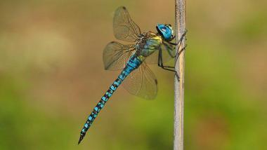 Nature, Insects, Dragonfly, Macro, Blue