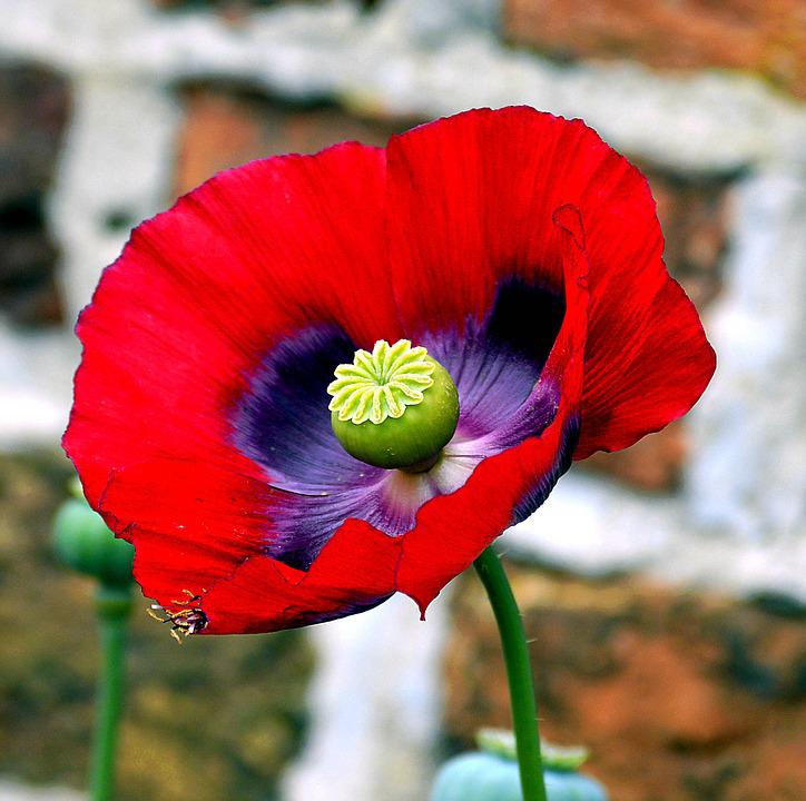 Opium Poppy Flower      Free photo on Pixabay opium poppy poppy poppy flower mohngewaechs