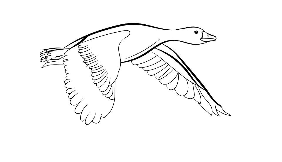 Duck Outline Animal Wildlife Free Image On Pixabay